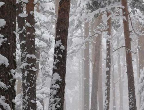 GUADARRAMA: Circuito arbóreo por la Fuenfría