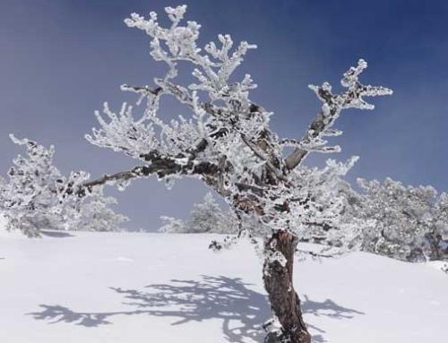 GUADARRAMA: El árbol más viejo del mundo